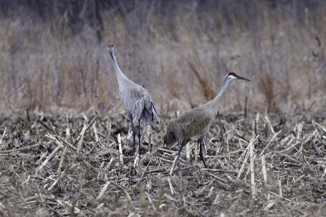 Midwest Crane Count