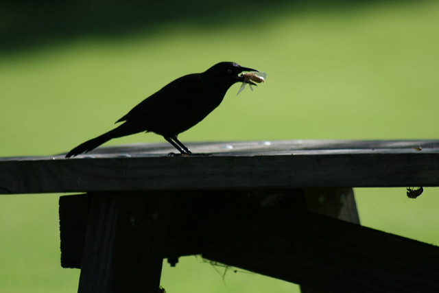 Common Grackle eating a cicada