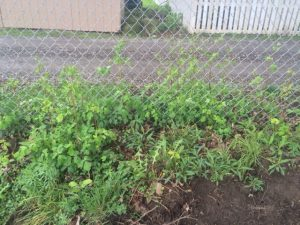 Wild Columbine in Area of Disturbance