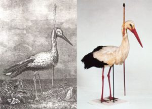 Pfeilstorch - arrow stork