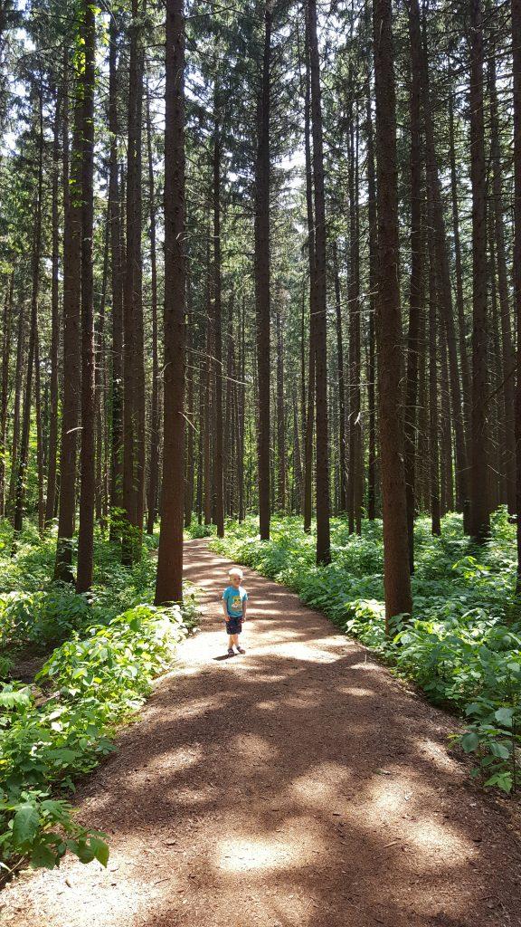 Conifers at Morton Arboretum