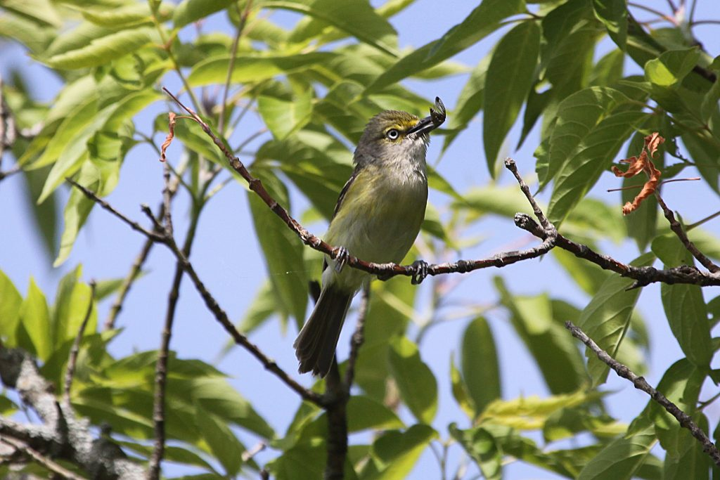 White-Eyed Vireo With and Insect