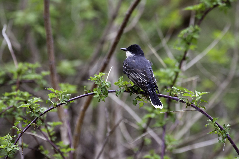 Eastern Kingbird at Rock Cut State Park